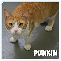 Adopt A Pet :: Punkin - Island Heights, NJ