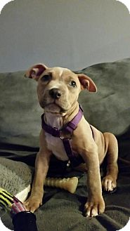 Pit Bull Terrier Puppy for adoption in New York, New York - Pearl