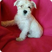 Adopt A Pet :: Lois Lane - St. Louis Park, MN