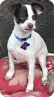 Fox Terrier (Smooth) Mix Puppy for adoption in La Verne, California - 1 Dot