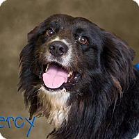 Adopt A Pet :: Percy - Somerset, PA
