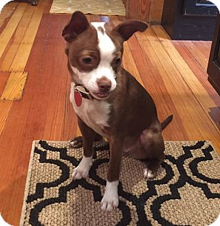 boston terrier rescue missouri bridgeton mo boston terrier chihuahua mix meet daisy a 1663