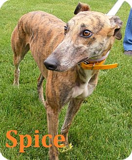 Greyhound Dog for adoption in Fremont, Ohio - Spice
