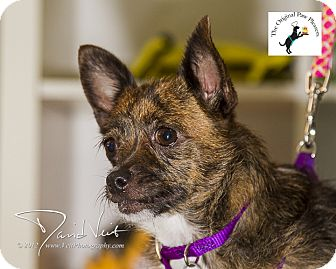Chihuahua/Jack Russell Terrier Mix Dog for adoption in San Diego, California - Lupita