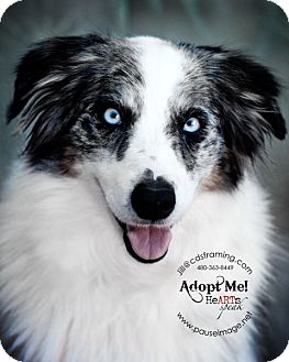 Australian Shepherd/Border Collie Mix Dog for adoption in Phoenix, Arizona - BAILEY
