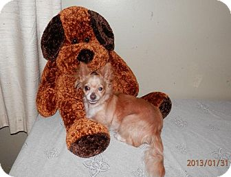 Chihuahua Dog for adoption in Clarksville, Tennessee - Tiffany