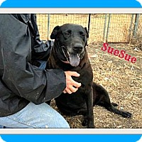 Adopt A Pet :: SueSue - McKinney, TX