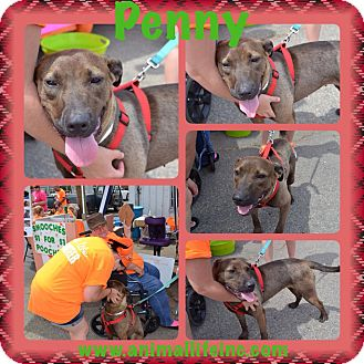 Labrador Retriever/American Staffordshire Terrier Mix Dog for adoption in sanford, North Carolina - Penny