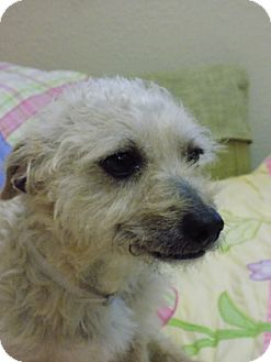 Terrier (Unknown Type, Small)/Poodle (Miniature) Mix Dog for adoption in Tumwater, Washington - Lucas