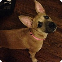 Chihuahua Mix Dog for adoption in Birmingham, Michigan - LUCY