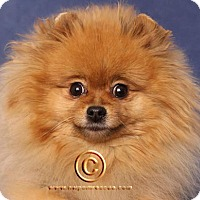 pomeranian rescue oregon portland or pomeranian meet emma a dog for adoption 6453