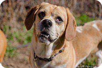 Basset Hound/Boxer Mix Dog for adoption in Salt Lake City, Utah - Sophie