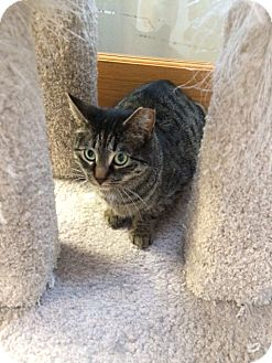 Domestic Shorthair Cat for adoption in Byron Center, Michigan - Chatty Cathy