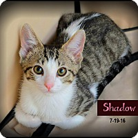 Adopt A Pet :: Shadow - Sherman Oaks, CA