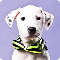 Adopt A Pet :: Pants - Houston, TX