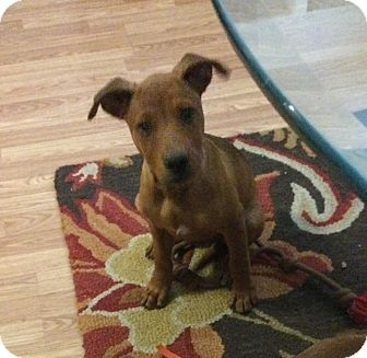 Shepherd (Unknown Type) Mix Puppy for adoption in Fort Collins, Colorado - Marley (DENVER)