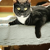 Domestic Shorthair Cat for adoption in Calverton, New York - Ceasar