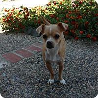 Adopt A Pet :: Lily - Lodi, CA