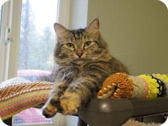 Domestic Shorthair Cat for adoption in Libby, Montana - Daisy