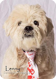 Lhasa Apso/Poodle (Standard) Mix Dog for adoption in Gilbert, Arizona - Lenny