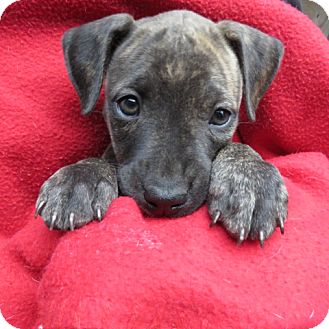 Black Mouth Cur/Labrador Retriever Mix Puppy for adoption in St Petersburg, Florida - Darcy! ADORABLE Puppy