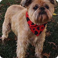 Brussels Griffon Dog for adoption in Chicago, Illinois - MISS LACY - Adoption Pending