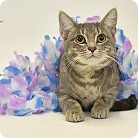 Adopt A Pet :: Storm - St. Louis, MO
