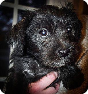 Terrier (Unknown Type, Medium)/Shih Tzu Mix Puppy for adoption in Verona, New Jersey - Teebo: Adoption Pending