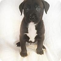 Adopt A Pet :: Chocolate Rain - sylmar, CA