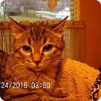 Adopt A Pet :: Yoda - Bridgeton, MO