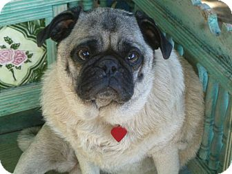 Pug Mix Dog for adoption in Los Angeles, California - Maggie Mae