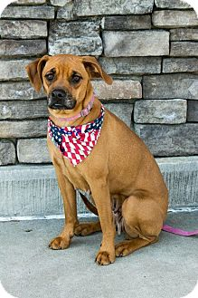Boxer/Pug Mix Dog for adoption in Apex, North Carolina - Peanut