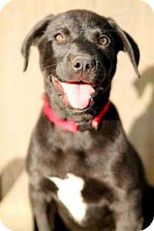 Golden Retriever/Labrador Retriever Mix Puppy for adoption in Austin, Texas - Artemis