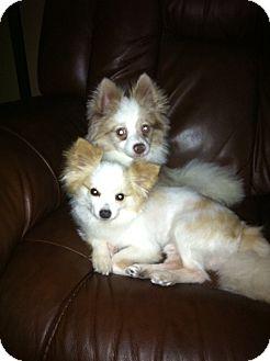 Pomeranian Dog for adoption in Baton Rouge, Louisiana - Sebastian