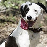 Adopt A Pet :: Valentine - Aubrey, TX