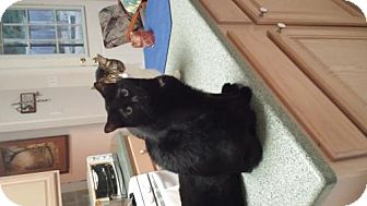 Bombay Cat for adoption in Spring, Texas - Little Blackie