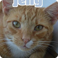 Domestic Shorthair Cat for adoption in Lawrenceburg, Kentucky - #93-3778D Jelly - foster GB