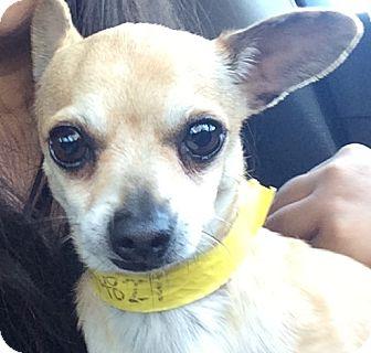 Chihuahua Dog for adoption in Glendale, California - Alen