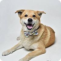 Shiba Inu Mix Dog for adoption in Marrero, Louisiana - Clark - In Foster Home
