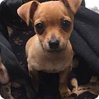 Adopt A Pet :: Han Solo - San Diego, CA