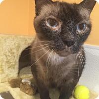 Siamese Cat for adoption in Boca Raton, Florida - Trouble