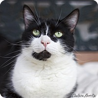Domestic Shorthair Cat for adoption in Los Angeles, California - Pinky