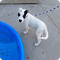 Bull Terrier/American Bulldog Mix Puppy for adoption in Wyoming, Michigan - Iceman - **DEAF