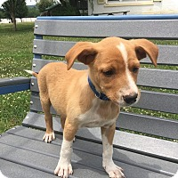 Adopt A Pet :: Beemer - New Oxford, PA