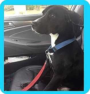 Labrador Retriever/Hound (Unknown Type) Mix Dog for adoption in Tampa, Florida - King