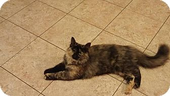 Domestic Mediumhair Cat for adoption in Villa Hills, Kentucky - Callie