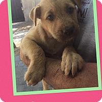 Adopt A Pet :: Clara - Scottsdale, AZ