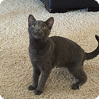 Russian Blue Kitten for adoption in Hesperia, California - Quetta