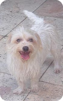 Havanese/Terrier (Unknown Type, Medium) Mix Dog for adoption in Houston, Texas - Bellaire
