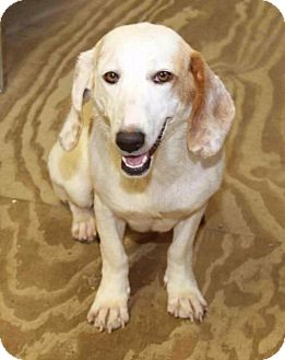 Beagle Dog for adoption in Rossville, Tennessee - Leda
